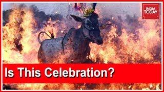 Download Cattle Walk Through Fire During 'Makar Sankranti' Celebrations In Karnataka Video