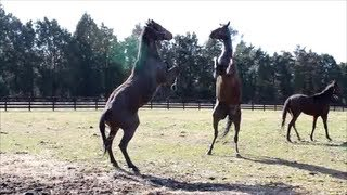 Download Fighting Horses Video