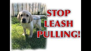 Download How to train your PUPPY to walk on a loose leash! Video