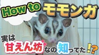 Download モモンガ 実は甘えん坊なんです…。 いきものがたり #02 /【GuuGoo 】 Video