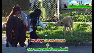 Download A sick homeless golden retriever and an Akita in a rescue with a surprising end!!! (PART 2) Video