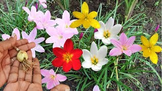 Download Best Monsoon Flower: Rain Lily मानसून का जबरदस्त पौधा #Complete Planting Guide Video