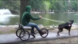 Download Dog takes owner for ride in dog cart Video