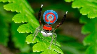 Download Peacock Spider 16 (Maratus splendens) Video