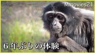 Download Gibbon テナガザルのタロウ 屋外に出て じっと周囲を見渡す Video