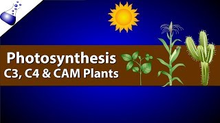 Download Photosynthesis: Comparing C3, C4 and CAM Video