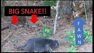 Download 6 FOOT SNAKE GOES AFTER FAWN & FARM CAT INTERVENES!!! 06-10-18 Video