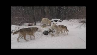 Download International Wolf Center- Creating some Stimuli - 20 January 2017 Video