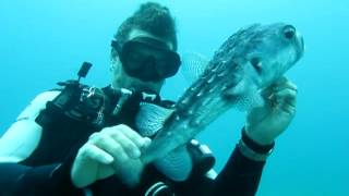Download Diver Saves Puffer Fish (Saving Puff Daddy) Video