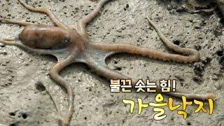 Download [어영차 바다야] 불끈! 가을낙지 Video