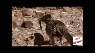 Download Bu Kuş Öldürmek İçin Doğmuş Bakın Neler Yapıyor !! Video