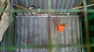 Download Nuôi Chào Mào Sinh Sản Trong Avy. Đức Nguyễn QN Video