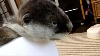 Download 急に眠気におそわれる赤ちゃん(*´з`) (伊勢シーパラダイス) Video