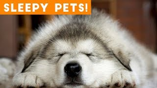 Download Cutest Sleepy Pet and Animal Videos of 2018 | Funny Pet Videos Video