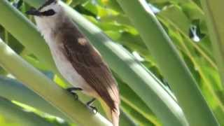 Download Yellow-vented Bulbul - Bird Sound Video