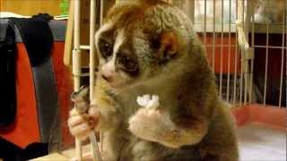 Download Slow Loris eating a Rice Ball Video