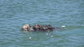 Download Mom shows off incredibly cute baby Sea Otter Video