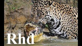 Download Jaguar vs caiman, rainforest pantanal in Brazil, Nature 2018 HD Documentary. (1) Video
