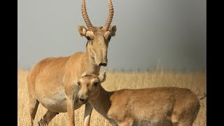 Download Сайгаки. Под Харьковом живут животные времен мамонтов. Video