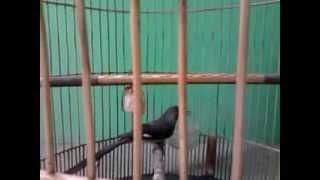 Download Murai Air / Air Mancur Masteran Murai Batu Video