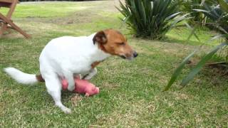 Download Jack Russell Dog Humps Pig Video