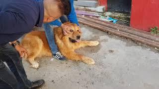 Download كلاب الراعي القوقازي مع جمال العمواسي Video