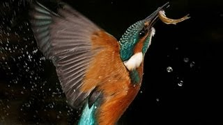 Download Kingfisher | The Secret Life of the Shannon | RTÉ Goes Wild Video