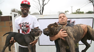 Download The $75,000 Micro Pit Bull Video