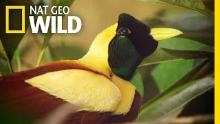 Download The Stunning Red Bird of Paradise | Wild Indonesia Video