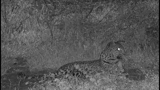 Download Djuma: Leopard-Tlalamba female - 04:30 - 01/14/2020 Video
