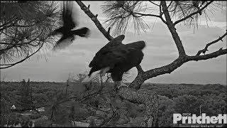 Download SWFL Eagles ~ Crows Dive Bomb Harriet Causing Her To Leave Tree 5.23.18 Video