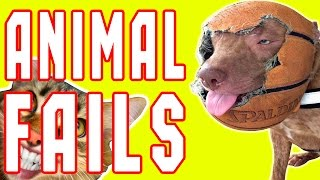 Download Animal Fails of the Week 1 May 2017 - Dog Fails - Cat Fails - Animal Fails Compilation 2017 Video