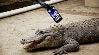 Download What Happens If an Alligator Bites an iPhone 7? Video