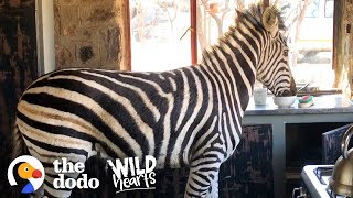 Download Watch This Rescued Zebra Break into His Mom's House | The Dodo Wild Hearts Video