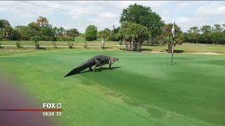 Download Massive gator at Florida golf course goes viral Video