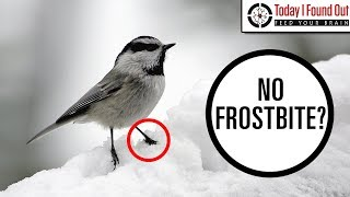 Download Why Don't Birds' Legs Freeze Video
