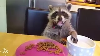 Download Baby Raccoon Helps His Mom Through The Hard Days Video