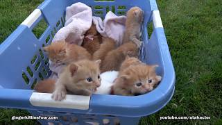 Download 2017 Edition Basket of 11 Meowing Kittens Video
