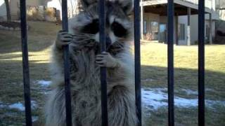 Download Who talks to a Raccoon?... DO NOT try this at home Video