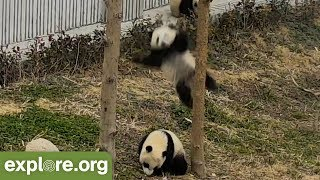 Download HILARIOUS! Panda FALLS From Tree - Livecam Bloopers Video