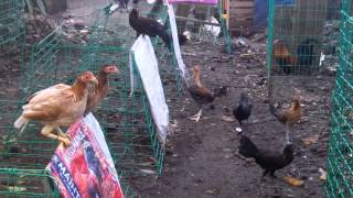 Download Feeding Baby Stags and Baby Pullets Video