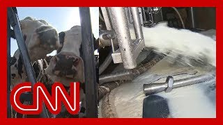 Download Why a farmer is dumping 12,000 gallons of milk a day Video