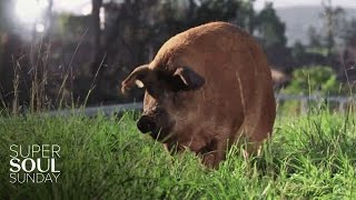 Download A Pig Named Emma, 13 Piglets and 1 Big Miracle | SuperSoul Sunday | Oprah Winfrey Network Video