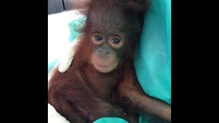 Download Baby orangutan Udin is fighting to survive. Video