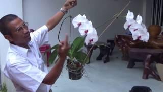 Download Để hoa lan Hồ điệp nở hoa quanh năm Video