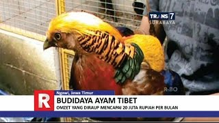 Download TRANS7 JAWA TIMUR - Cantiknya Ayam Tibet Video