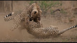 Download Male Cheetahs Fight Over Female | Kruger National Park Video