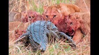 Download Top 10 Craziest Animal Fights Caught On Camera Part 3 Lions attack Video