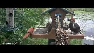 Download Pileated Woodpecker Reigns Over Feeder, August 10, 2015 Video