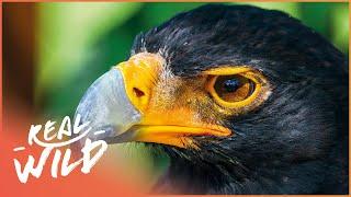 Download Tswapong Hills: Eagle Sanctuary [Botswana: Wild Kingdom Documentary] | Real Wild Video